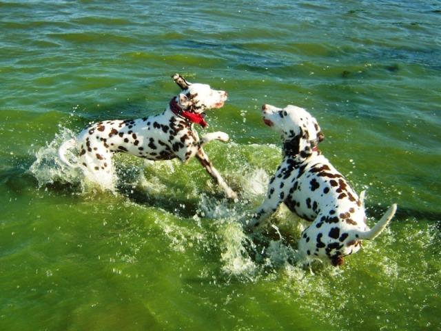 Paisley Dalmatians Quality Show Dogs Sound Trainable Performance