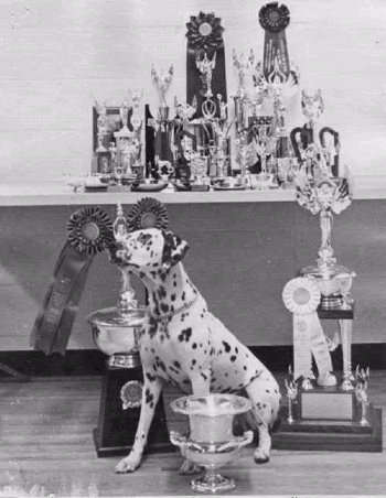 Cricket with her trophies earned while competing in Novice and earning four All Breed High in Trials