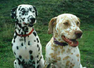 This Page Explores The Coat And Color Variations Seen In Dalmatians