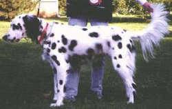long haired dalmatian